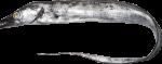 Trichiurus_lepturus_SI2